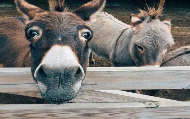 Why Two Donkeys?